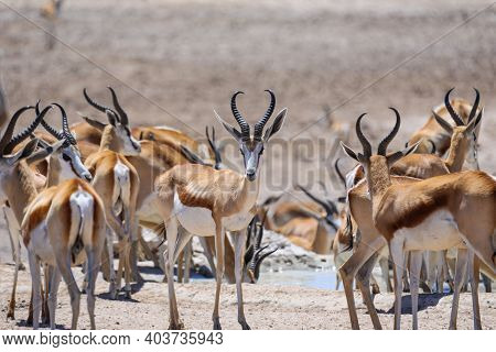 Herd Of Springbok Surrounding A Waterhole At Etosha National Park