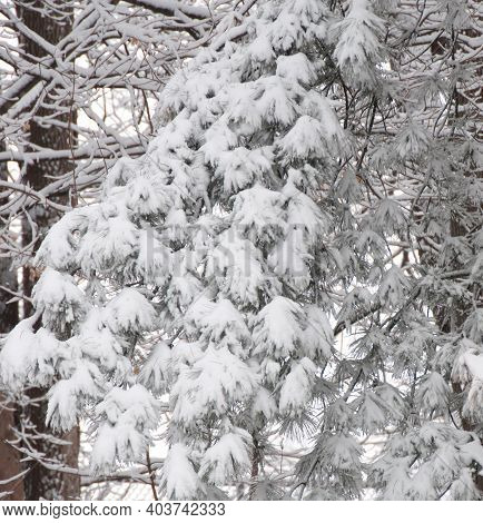 Photograph Of Heavy, Wet Snow On The Boughs Of A Pine Tree