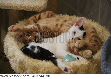 Two Beautiful Small Kitten Are Lying And Cuddling On A Scratching Post