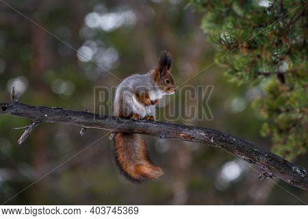 Eastern Gray Squirrel On A Tree Branch. Cute Squirrel Perched On Tree Branch, Soft Focus. Squirrel O
