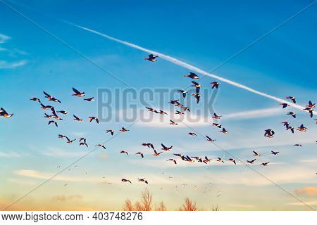 Wild Geese Migrating In The Nature Into The Sunset
