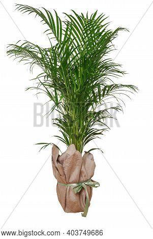 Minimal Tropical Leaves Houseplant Home Decor. Kentia Or Areca Decorative Palm Against White Wall. I
