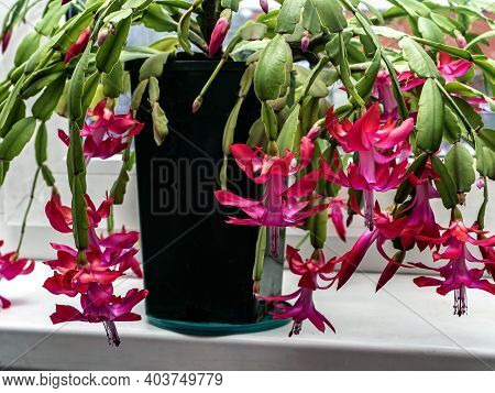 Delicate Pink Christmas Cactus Flower With The Latin Name Schlumbergera On The Windowill