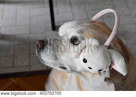 Lovely Happy Easter Dog. Puppy With Rabbit Ears/ Labrador Retriever  Dog Wearing Easter Bunny Ears
