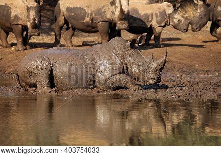 White Rhinoceros Or Square-lipped Rhinoceros (ceratotherium Simum) Has A Good Time During Mud Bath O