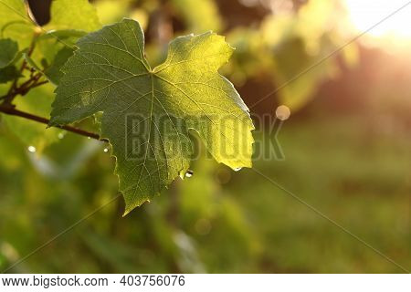 Grape Leaf After The Rain. Sunset Evening Vineyard