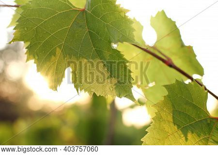 Grape Leaves On The Background Of The Sunset After The Rain. Sunny Harvest Is Ripening