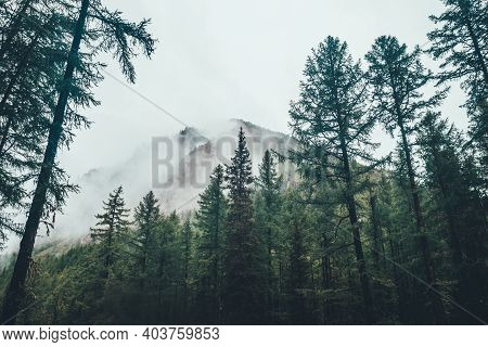 Atmospheric Ghostly Dark Forest In Dense Fog Among Big Mountains. Gloomy Foggy Landscape With Conife