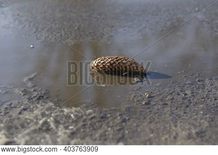 Fir Cone Lies In Puddle On Paved Road. Brown Cone In Puddle Of Melted Snow. Selective Focus. No Peop
