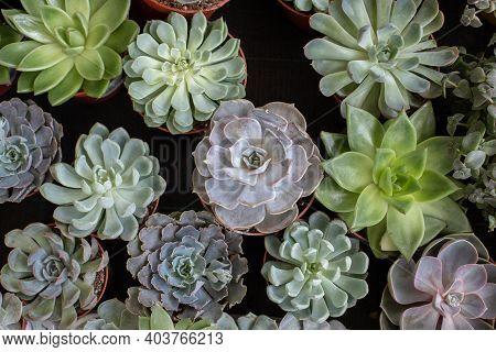 Echeveria In Pots Top View, Succulent Plant Background, Natural Fresh Green Echeveria Plant