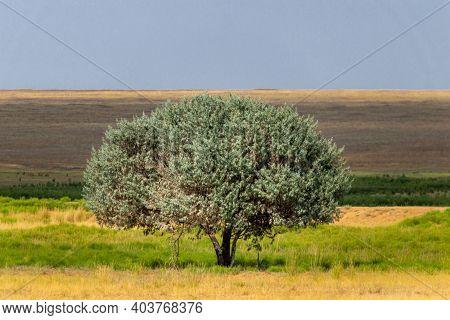Lonely Tree In Steppe. Landscape Looks Like Prairie Or Savannah.