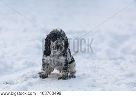 Cute Small Pure Breed Dog English Cocker Spaniel, Puppy In Snowy Winter Garden. Breeding Station, De