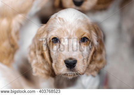 Small Dog, Cute Purebred English Cocker Spaniel Puppy On Breeding Station, Descendants Of European C