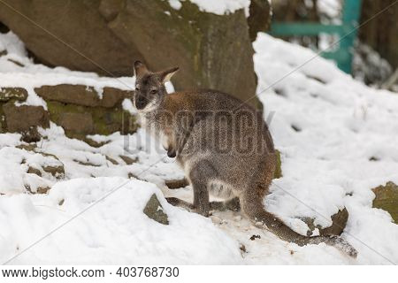 Red-necked Wallaby, Kangaroo (macropus Rufogriseus) In White Snowy Winter