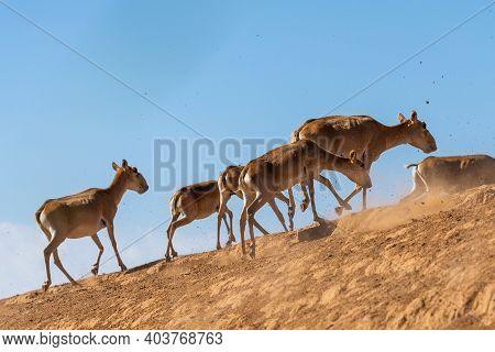 The Herd Of Antelopes Runs Flees From Danger.