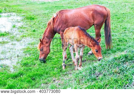 Horses Mother And Child . Mare And Foal Grazing