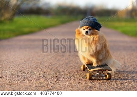Dog And Sports. Cool  Pomeranian In Hat Riding In Skateboard On The Roa, Looking At The Camera. Crea