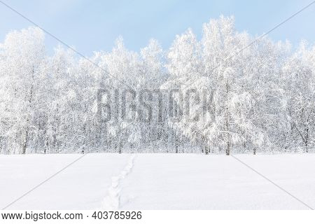 Winter Frosty Landscape. Birches Covered With Frost And Snow Against The Blue Sky. Footprints In The