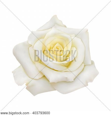 Rose With White Petals, Close-up. Vector Realistic Isolated Image. Eps 10.