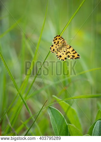 Speckled Yellow Moth (pseudopanthera Macularia) Buttefly Insect On Green Grass Blade