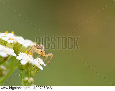 Young Small Crab Spider (xysticus) Lurking On White Flowers, Background, Space