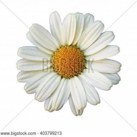 Flower Of Oxeye Daisy (leuchanthemum Vulgare) Isolated On White Background, Closeup
