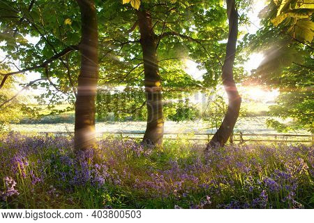 Wild Bluebell Woodland With Early Morning Stunning Dawn Sunrise In Norfolk Uk. Spring Trees And A Fe