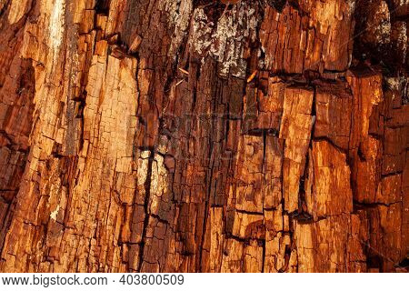 Old Tree Bark Texture In Decay. Natural Wood Pattern