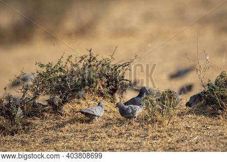Yellow Eyed Pigeon Or Columba Eversmanni In An Open Field During Winter Migration And In Morning Lig