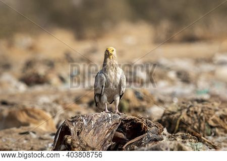 Egyptian Vulture Or Neophron Percnopterus Portrait In Natural Green Background During Winter Migrati