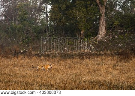Side View Of Wild Bengal Tiger On Early Morning Stroll For Territory Marking At Grassland Area Of Te