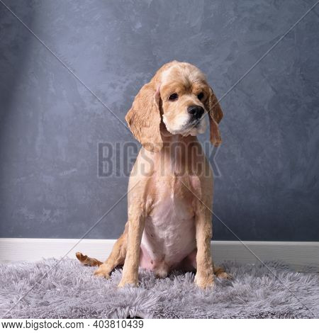 A Beautiful Cocker Spaniel Sits After Leaving The Grooming Salon On A Mat Against A Gray Wall. Short