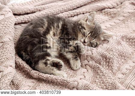 Cat Kitten Sleep On Cozy Pink Blanket. Fluffy Tabby Kitten Snoozing Comfortably On Knitted Bed. Kitt