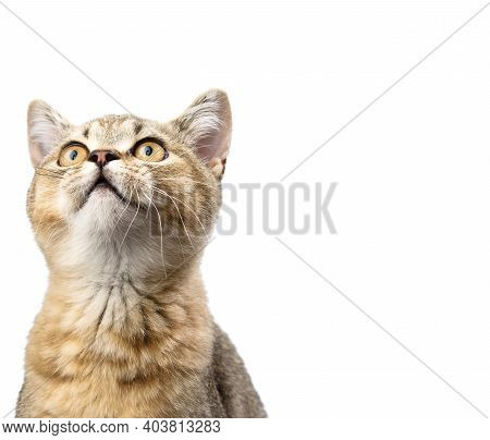 Kitten Golden Ticked British Chinchilla Straight Sits In Front On A White Background. The Cat Looks