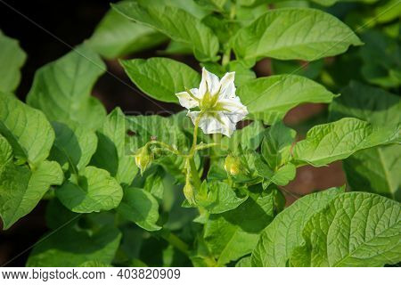 Potato Plants In A Field. Potatoes Are Nightshades.