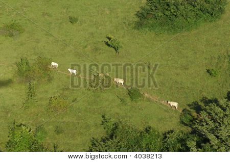 Cows Walking On A Meadow Path