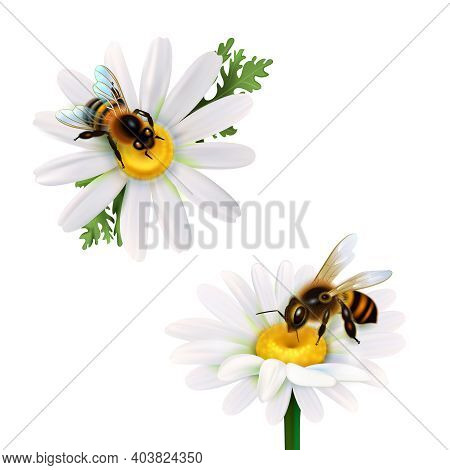 Two Honey Bees Collecting Nectar From Daisy Flowers Realistic Icons Set On White Background Isolated