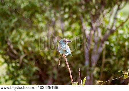 The Lilac Breasted Roller (coracias Caudatus) Is Beautiful And Colorful. This African Bird With Its