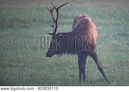 Injured Bull Elk Grazing In Field In Greay Smoky Mountains National Park