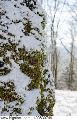 Layer Of Snow On Thick Mossy Tree In Great Smoky Mountains National Park