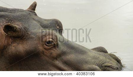Hippo submerged in wa