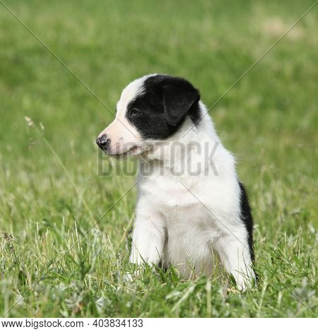 Amazing Border Collie Puppy