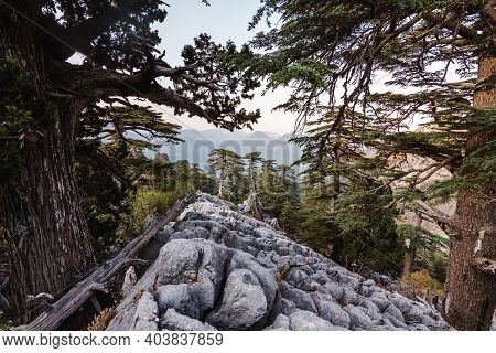 Mountain Range In The Taurus Mountains. Lebanese Cedars On The Mountain Slopes At Sunset. Panoramas