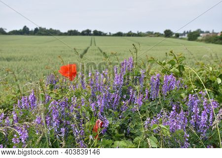 Blue And Red Summer Flowers By A Corn Field