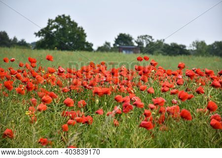 Summer Flowers - Blossom Poppies In A Field