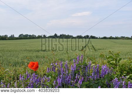 Blue Summer Flowers And A Red Poppy By A Farmers Field