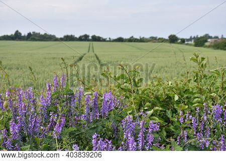 Blossom Blue Vetch Flowers By A Corn Field