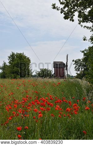 Blossom Red Poppies In A Corn Field By An Old Windmill