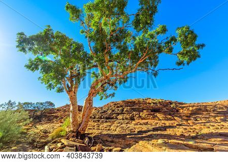 Gum Tree Alone In Bush Vegetation On Summit Of Arid Kings Canyon In Watarrka National Park, Central