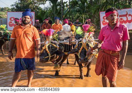 Mangalore, Karnataka, India - December 7, 2019: Unidentified participants of the Kambala annual buffalo race conducted at paddy fields in Karnataka state, India